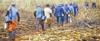 Usina não será obrigada a dar comida a cortadores de cana