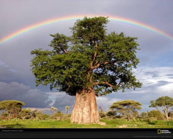 BAOBÁ - árvore símbolo fundamental das culturas africanas tradicionais