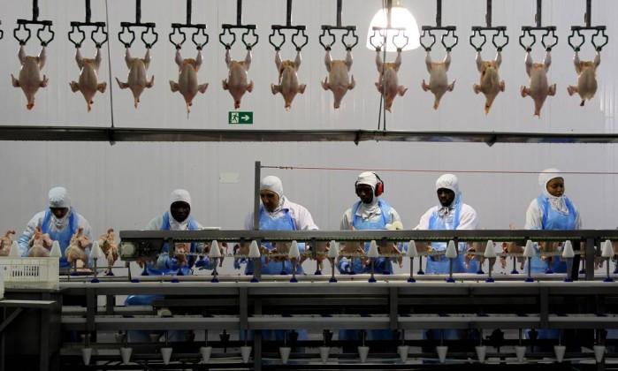 Estrangeiros trabalhando no corte de frango na Coopavel, frigorifico da região que contratou 380 haitianos para auxiliar de produção. - Fernando Donasci Read more: http://oglobo.globo.com/brasil/imigrantes-haitianos-africanos-sao-explorados-em-carvoarias-frigorificos-13633084#ixzz3AkAKW2IA