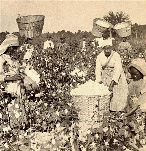cotton field in the America