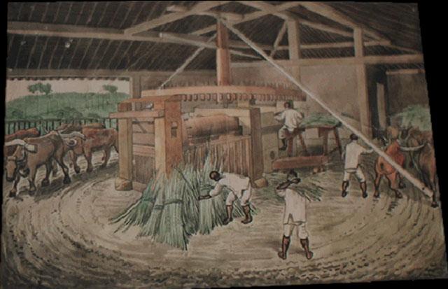 sugarcane-plantations2