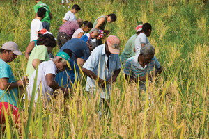 Pessoas trabalhando na colheita de arroz na comunidade quilombola de Morro Seco. Colheita de arroz.